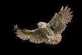 Little owl athene noctua in flight