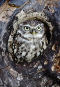 Little owl Athene noctua Perched in hole of tree South West England UK Owls