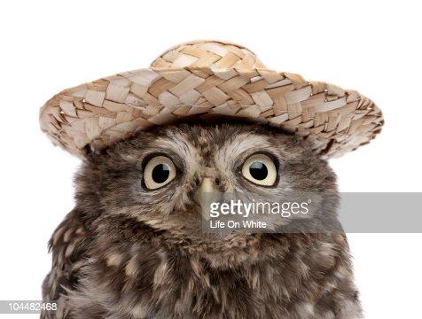 Little Owl - Athene noctua (50 days old) : ストックフォト