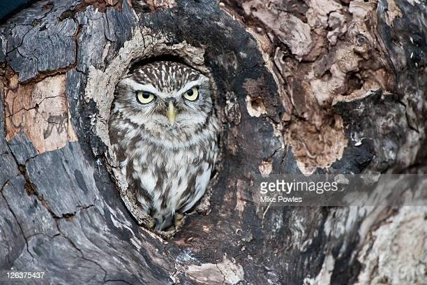 Little Owl (Athene noctua) in tree nest, England, UK