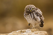 Little Owl looking at camera. Athene noctua.