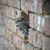 Little Owl peeping out from hole in brick wall
