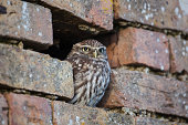 Little owl perched in brick wall, Gloucester, UK