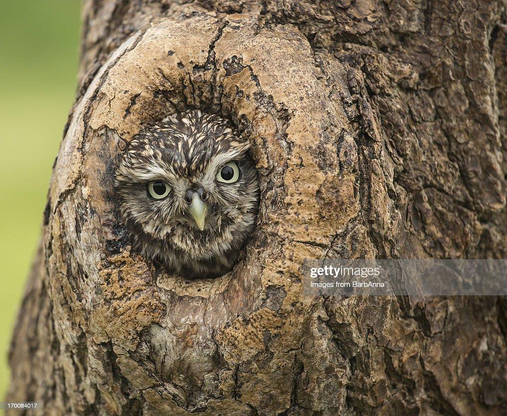 Little Owl : Stock Photo