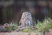 Little owl resting on wall, Gloucestershire, UK