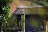Little Owl sits on a fencepost in the rain on April 7 2014 in Basingstoke England