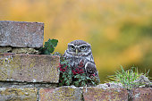 Little owl sitting on wall