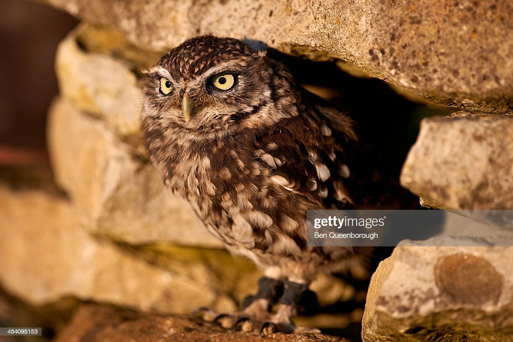 A Little Owl standing on a rock pile : Stock Photo