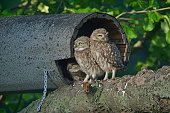 Little Owls -Athene noctua-, young, Emsland, Lower Saxony, Germany