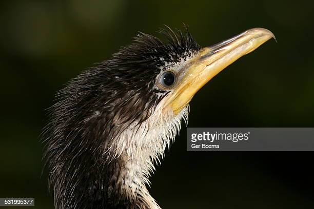 little pied cormorant portrait