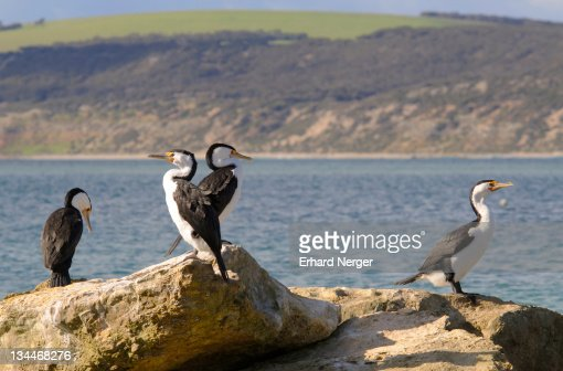 little pied cormorants phalacrocorax melanoleucos kangaroo island australia stock photo