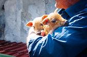 Adult man farmer holding two newborn pigs.
