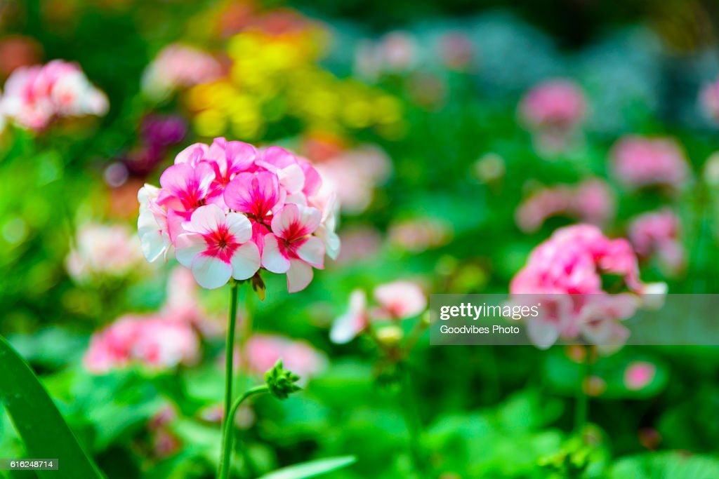 little pink and white daisy flower vibrant color : Stock Photo
