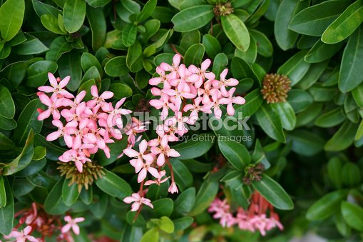 Little pink flowers on the bush stock photo thinkstock little pink flowers on the bush stock photo mightylinksfo