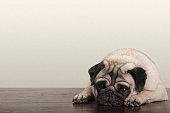 cute little pitiful sad pug puppy dog, lying down on wooden floor