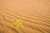 Little plant growing in a sand dune in the desert