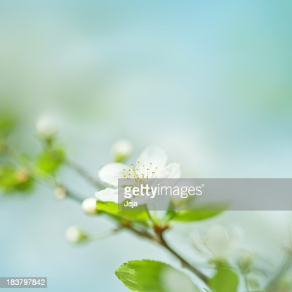 Little plum blossom on a plum tree
