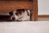 Little puppy is hiding under a cupboard