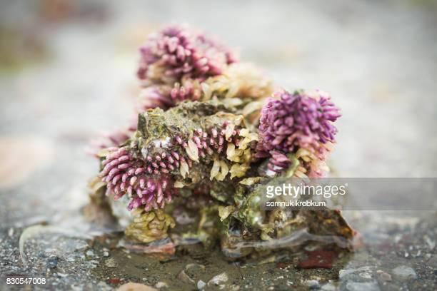 Little purple sea coral