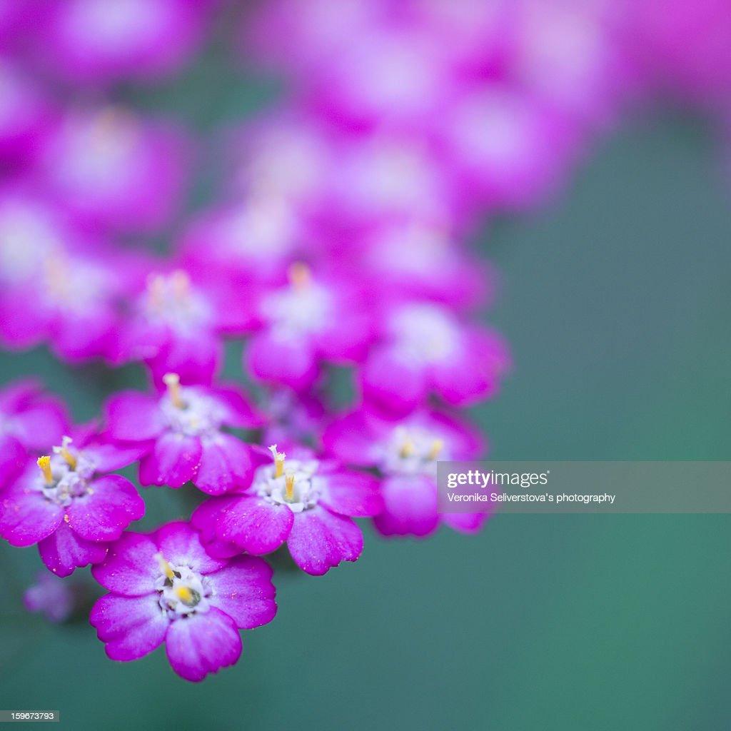 Little purple summer flowers : Stock Photo