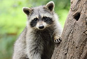 Little Raccoon on tree