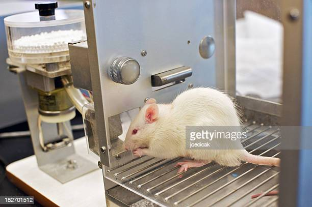 A little rat in a laboratory being tested on