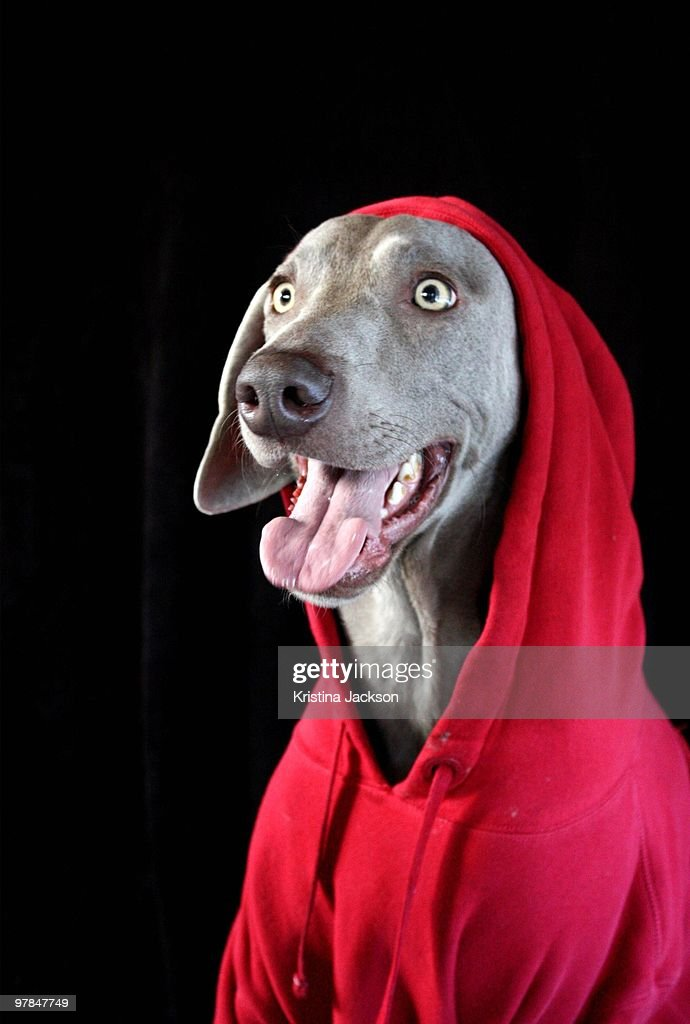 Little Red Riding Weim : Stock Photo