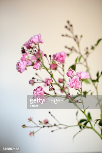 Little Roses : Stock Photo