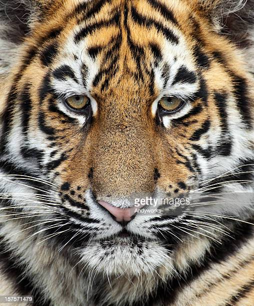 Little Siberian Tiger Close Up