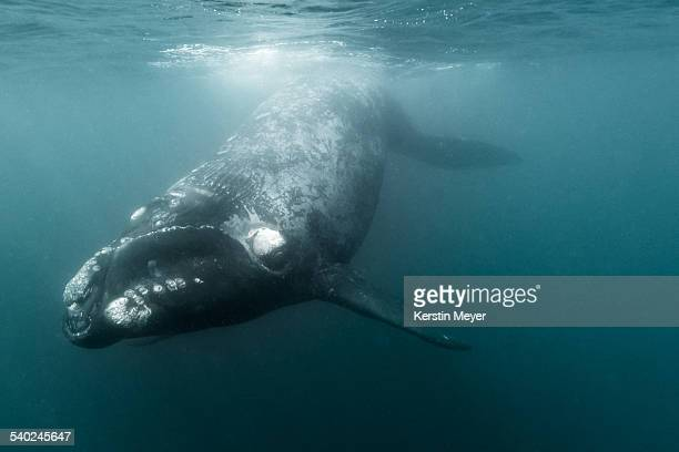 Little southern right whale