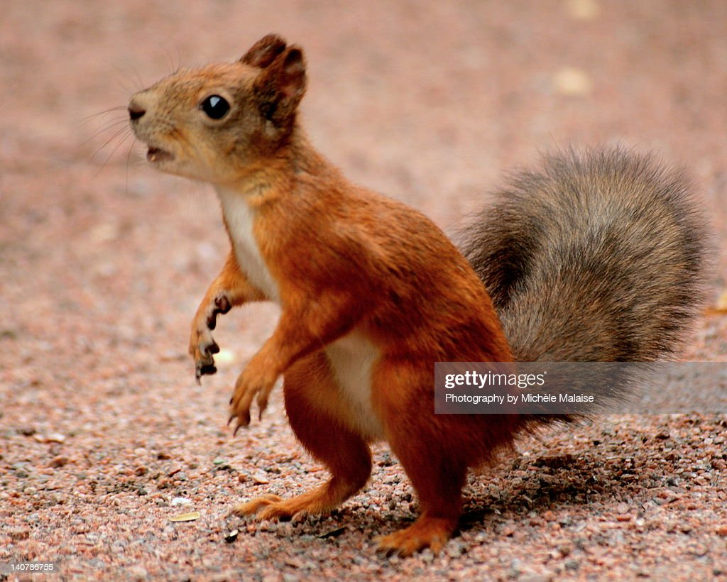 Little squirle : Stock Photo