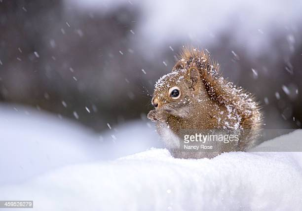 Little squirrel covered in snowflakes