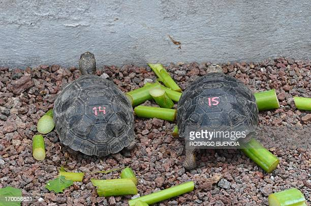 Little tortoises with genes of the Floreana Island giant tortoise species which were born in captivity are fed in a breeding centre at the Galapagos...