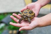 Little turtle in hands at the woman
