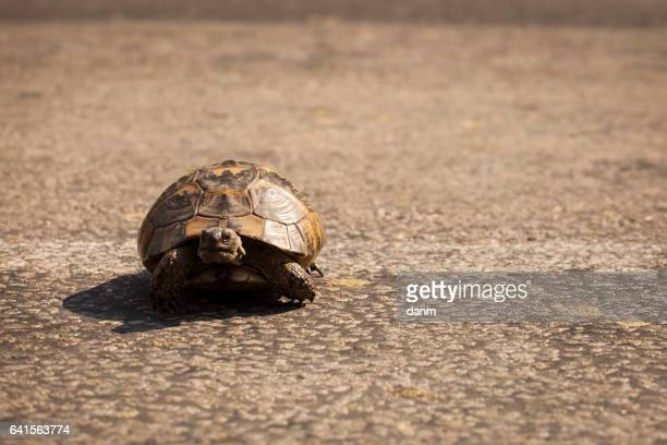 little turtle on the road