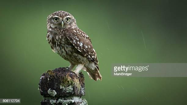 A little wet owl