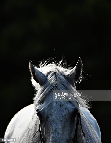 Little White Cloud cools down after unplaced run in Race 7 during Melbourne racing at Moonee Valley Racecourse on November 26 2016 in Melbourne...