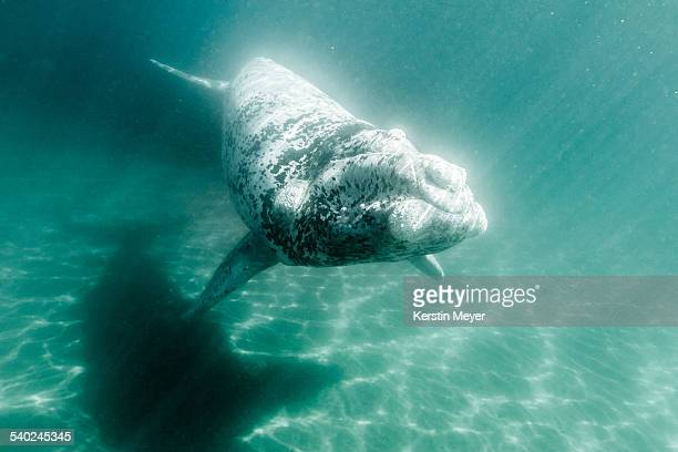 Little white southern right whale