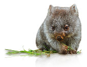 Little wombat female 3 months. Isolated on white background. Family of Wombat, mammal, marsupial herbivore that lives in Australia and Tasmania.