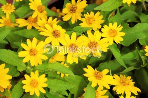 Little yellow star flower stock photo thinkstock little yellow star flower stock photo mightylinksfo