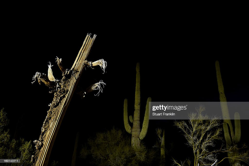 Live and dead cactus are seen on the course during the semifinal round of the World Golf Championships - Accenture Match Play at the Golf Club at Dove Mountain on February 24, 2013 in Marana, Arizona.