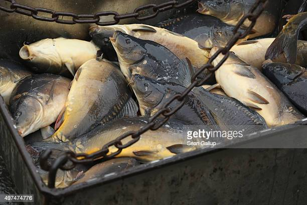 Live carp lie in a tub prior to transport during the annual carp harvest at fish ponds on November 16 2015 near Peitz Germany Fish farming at the...
