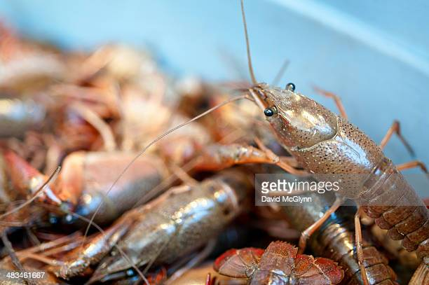 Live crayfish in tray