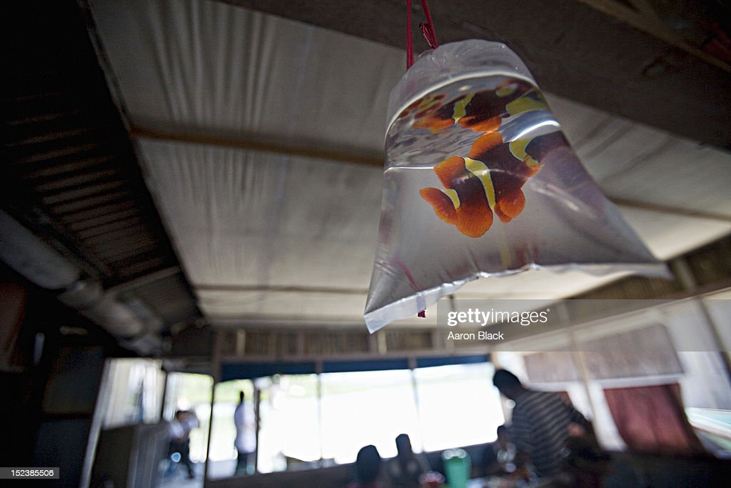 Live fish in a plastic bag used as a decoration : Stock Photo