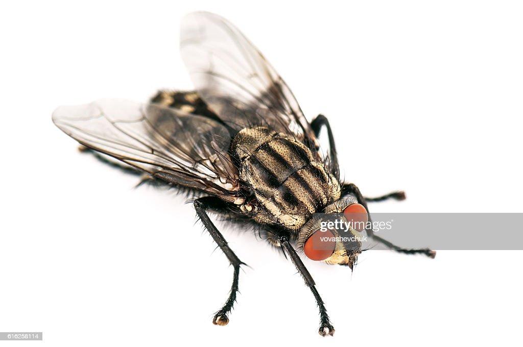 live house fly : Foto de stock