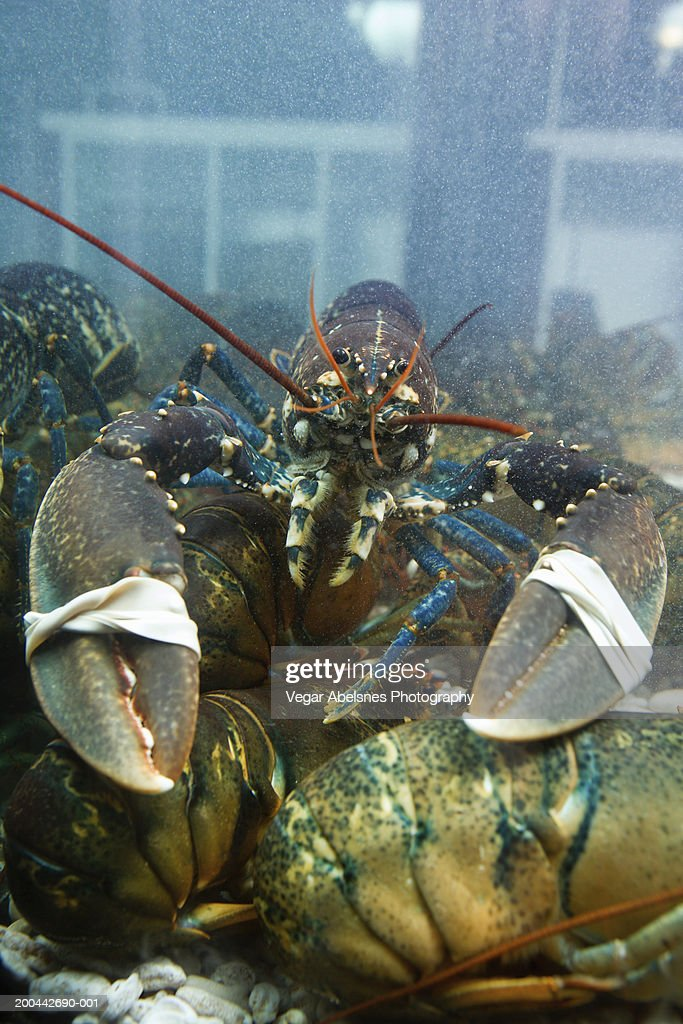 Live lobster in tank