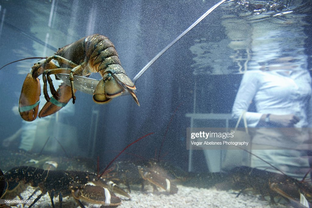 Live lobster in tank