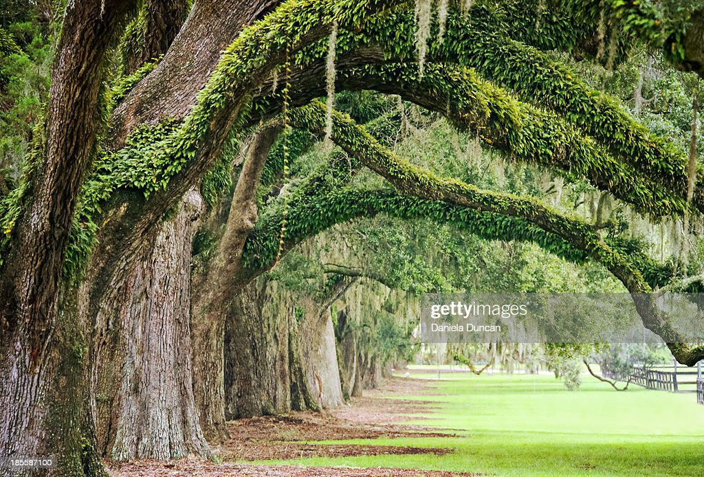 Live oak archway at Boone Hall