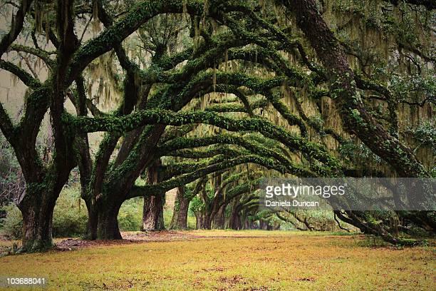 Live oak archway