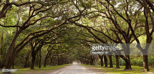 Live Oak Trees From Georgia, USA